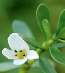 Bacopa Flower